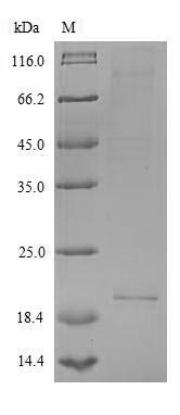 SDS-PAGE- Recombinant protein Human IL26