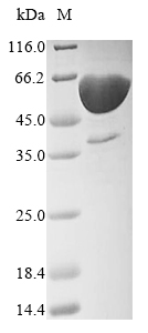 SDS-PAGE- Recombinant protein Human DLL3