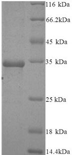 SDS-PAGE- Recombinant protein Human AGO2