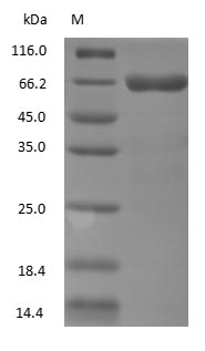 SDS-PAGE - Mouse Serum Albumin