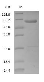SDS-PAGE - Human Immunoglobulin G3