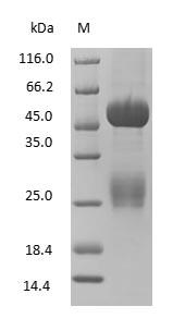 SDS-PAGE - Rabbit Immunoglobulin G
