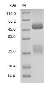 SDS-PAGE - Goat Immunoglobulin G
