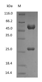 SDS-PAGE - Rat Immunoglobulin G