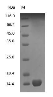 SDS-PAGE - Human Hemoglobin protein