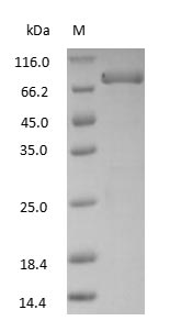 SDS-PAGE - Human Transferrin protein