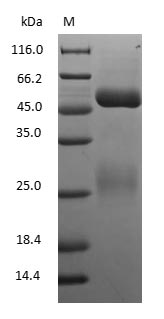 SDS-PAGE - Canine Immunoglobulin G