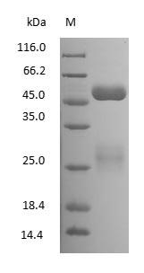 SDS-PAGE - Bovine Milk Immunoglobulin G