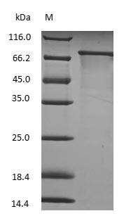 SDS-PAGE - Bovine Transferrin