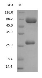 SDS-PAGE - Chicken Yolk Immunoglobulin