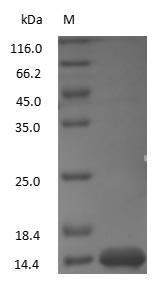 SDS-PAGE - Lysozyme