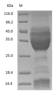 SDS-PAGE - Wheat Gliadin