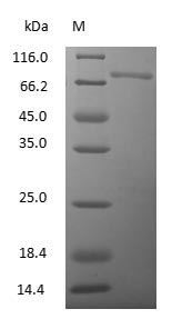 SDS-PAGE - Chicken Serum Transferrin