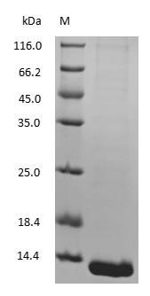 SDS-PAGE - Mouse Hemoglobin