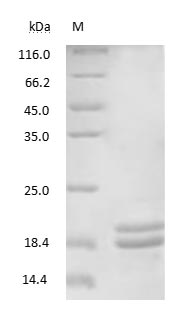 SDS-PAGE - Arachis hypogaea 2S protein