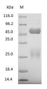 SDS-PAGE - Bovine Immunoglobulin G