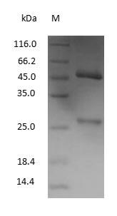SDS-PAGE - Mouse Immunoglobulin G1
