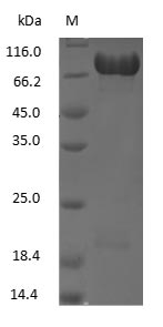 SDS-PAGE - Human Lactoferrin
