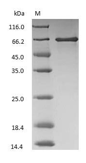 SDS-PAGE - Bovine Serum Albumin