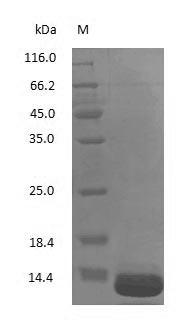 SDS-PAGE - Human Beta-2-microglobulin protein