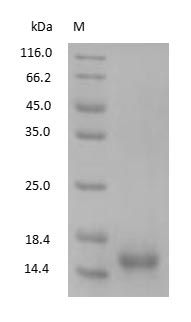 SDS-PAGE - Human Cystatin-C protein