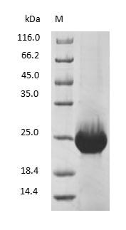 SDS-PAGE - Human Retinol-binding protein 4
