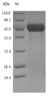 SDS-PAGE - Streptolysin O protein
